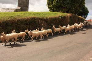 Exmoor sheep drive