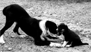 sheep dog training