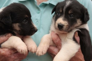 TWO COLLIE PUPPIES