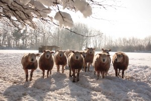 Exmoor sheep in snow