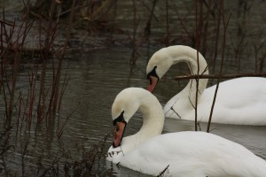 Photo of two mute swans