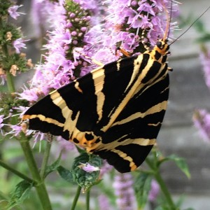 Photo of a Jersey Tiger Moth