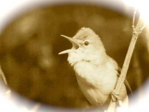 Photo of a Singing Marsh Warbler